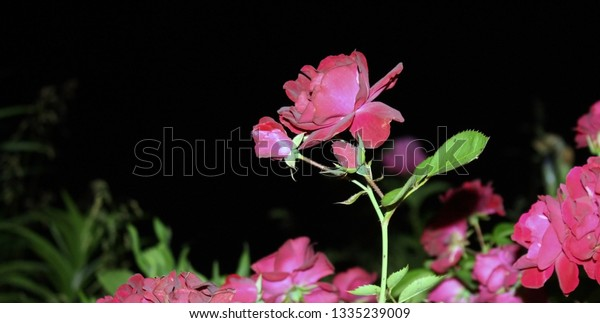 tall red rose blooms at night
