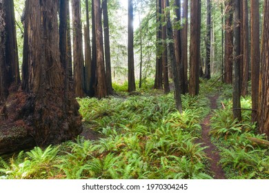 Tall Redwood trees and ferns grow in a previously logged forest in Mendocino, California. Redwoods are among the most massive trees that have evolved on planet Earth.