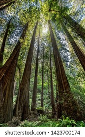 Tall redwood trees meeting the sun in the sky while leaving shade below for visitors along the path in Muir Woods near San Francisco, California, United States.