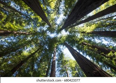 Tall redwood trees on North pacific coast