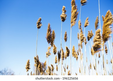 Tall Reeds against a Bright Blue Sky
