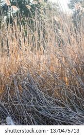 Tall reeds backlit by the sun.  Lexington Park, MD, USA.