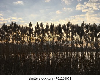 Tall reeds in silhouette under morning sky. Native grasses