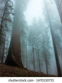 Tall Sequoia trees in a hazy blue mist in the afternoon in Sequoia National Park, California
