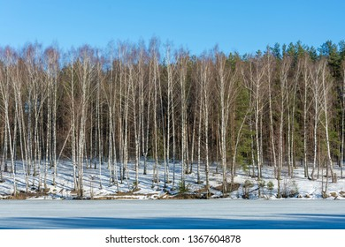 Tall slender birches on the bank of the river, covered with ice on a sunny March day.