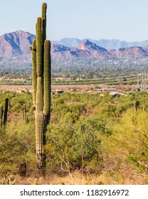 Tall sonoran desert cactus with the city of Scottsdale in the background