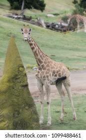 Tall spotted Giraffe standing beside a huge anthill