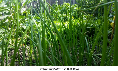 Tall spring onions growing in a sunny kitchen garden