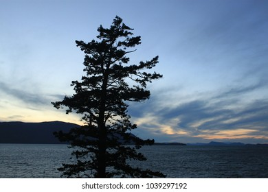 A Tall Spruce by the Ocean