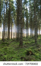 Tall spruce trees in an old forest with green mossy ground
