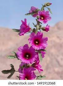 a tall stalk of dark magenta pink and red hollyhock flowers against a blurred blue and beige desert background