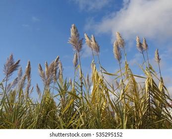 Tall stalks of cane against blue sky