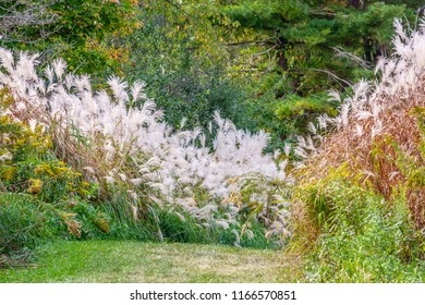 Tall stands of silver grass (possible binomial name: Miscanthus sinensis), an ornamental grass native to Asia, along a grassy trail in a forest preserve in northern Illinois, USA,  early in autumn