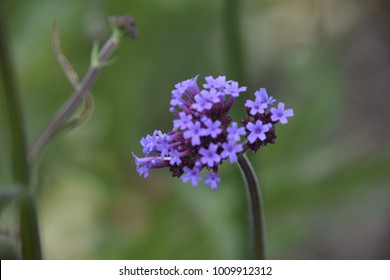 Tall purple flowers images stock photos vectors shutterstock the tall stems with purple flowers is verbena bonariensis its small purple flowers attract bees mightylinksfo