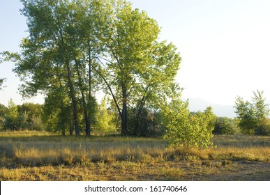 Tall summer cottonwoods in golden afternoon light on the Colorado Prairie