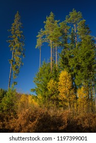 tall sunlit spruces and pines over autumn yellowed young birches and dry fern
