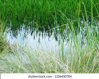 Tall Sweet Grass