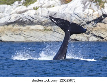 Tall Tail - An orca doing a tail slap, also known as lobtailing. Johnstone Strait, Campbell River, Vancouver Island, Canada