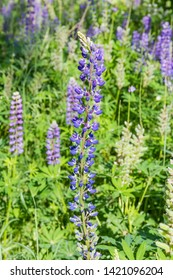Tall tapering spike of blue flowers of wild perennial lupine on a blurred background of lupine thickets close-up in selective focus