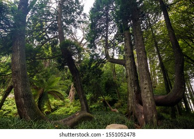 Tall and thick Western red cedar trees with curved branches and roots in a lush forest at the Pena Park in Sintra, Portugal.