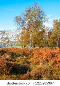 A tall, thin Silver Birch sands amidst golden brown ferns in front of a small group of trees all wearing autumn colours