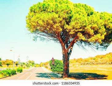 Tall tree along the road in Villasimius, Cagliari, South Sardinia in Italy