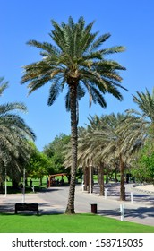 Tall Tree inside Dubai Creek Park - Palm Tree - famous tree and is abundant inside the parks in United Arab Emirates. Dubai Creek Park is one of the most oldest yet famous park in Dubai.