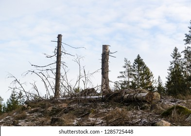 Tall tree stumps and a fallen tree trunk in a clear cut forest area