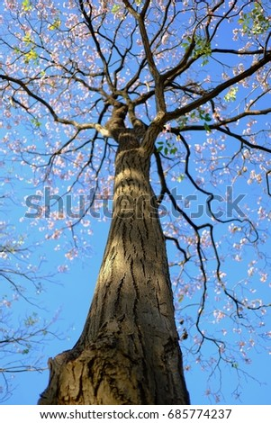 Tall tree trunk pink tabebuia flowers stock photo edit now tall tree trunk with pink tabebuia flowers blossom branchesday light and blue sky background mightylinksfo
