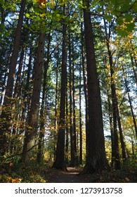 Tall trees allow only little sunlight to pass through the forest trail at Hoyt Arboretum in Portland, Oregon