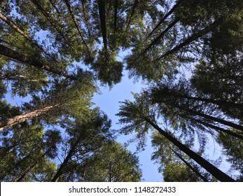 Tall trees, blue skies