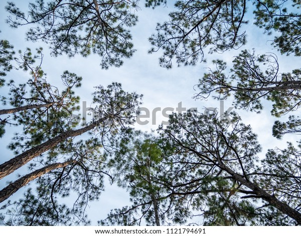 Tall Trees With Clear Skies and Green Leafs