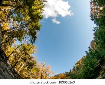 Tall trees in fisheye