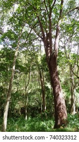 Tall trees in a forest, Kauai, Hawaii