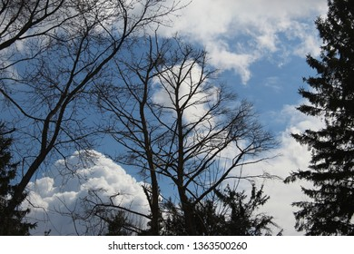 tall trees and pine with blue sky and white large and billowy clouds