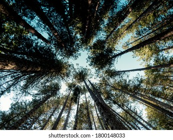 Tall trees. Sila National Park