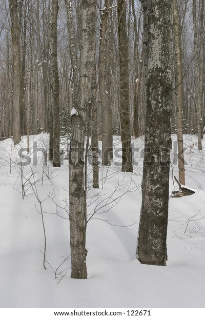 Tall trees in snow covered forest.