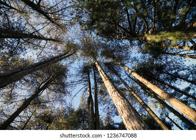 Tall Trees in the Woods