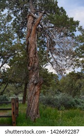 Tall Twisted Red Cedar in Park