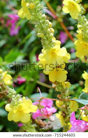 Tall verbascum plants big yellow flowers stock photo edit now tall verbascum plants with big yellow flowers on german river embankment pink flowers of impatiens mightylinksfo