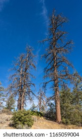 Tall view of three dead brown pine trees above a mountain meadow.