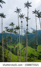 The tall wax palms in the Cocora Valley in Salento, Colombia. The background are green rolling hills covered partly in the fog.