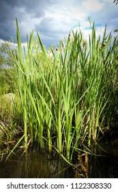 Tall Wetland Grass