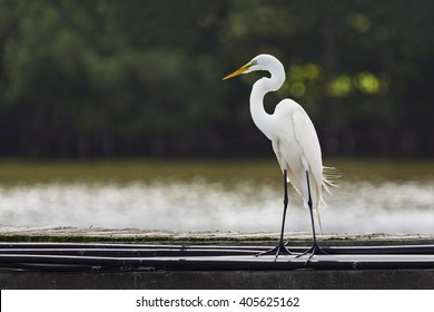 A tall white great egret (Ardea alba) stands on a pier with its head and s-curve neck in profile.