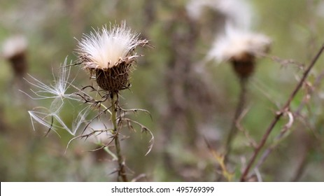 Tall, White, Puffy Thistle Pods Going To Seed During The Fall Season Growing In Overgrown Field On A Farm In The Mountains Of South West Virginia
