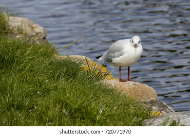 Tallaght Gull bird on the shore of the pond
