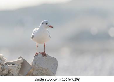 Tallaght Gulls wandering in the marsh land on winter morning.