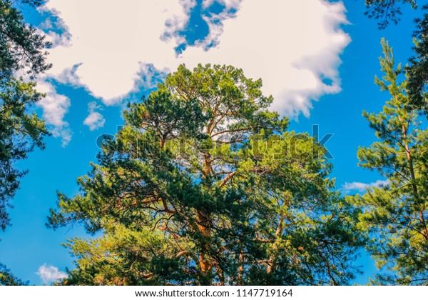 the tallest pine and the cloudy sky