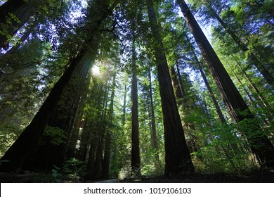 The Tallest Trees In The World The Sequoia Tree Of The Redwoods Forest