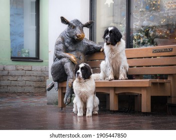 Tallinn Estonia - January 24 2021: Bronze sculpture by Tauno Kangro depicting a cow sitting on a bench on Viru Street. Two giant Landseer dogs pose together with the statue. Goodwin label on the chair